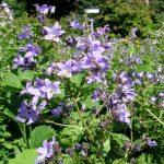 Blütenstand der Riesen-Glockenblume