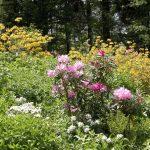 Gelbe Blütenpracht der Pontischen Azaleen
