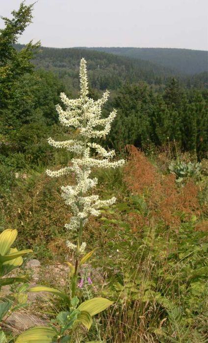 Blütenstand des Weißen Germer